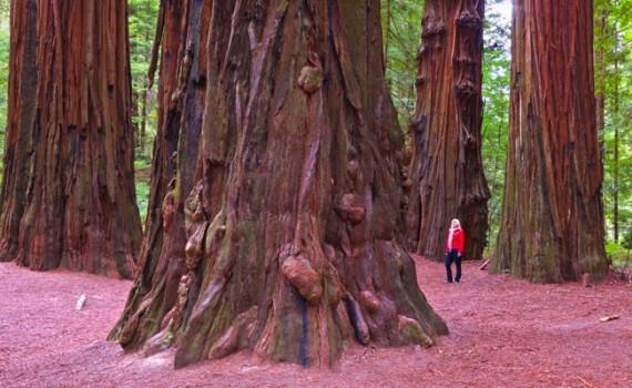 redwoods.001